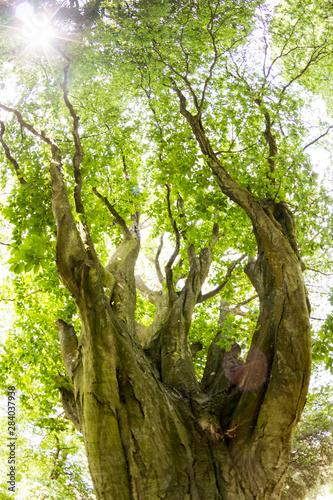 Cuadros en Lienzo Beautiful green tree in park