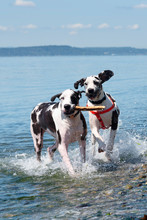 Harlequin Great Dane Dogs Playing On A Rocky Beach With Stick.