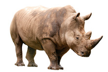 Fauna Of The African Savanna, Endangered Species And Large Mammals  Concept Theme With An Adult Rhino Isolated On White Background With A Clipping Path Cut Out