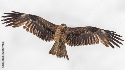 Photo  Black kite flying