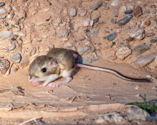 USA, Nevada, Clark County, Toquop Wash. Merriam's Kangaroo Rat (Dipodomys Merriami) With Large Rear Feet For Hopping. Found In A Sangy Wash Outside Mesquite.