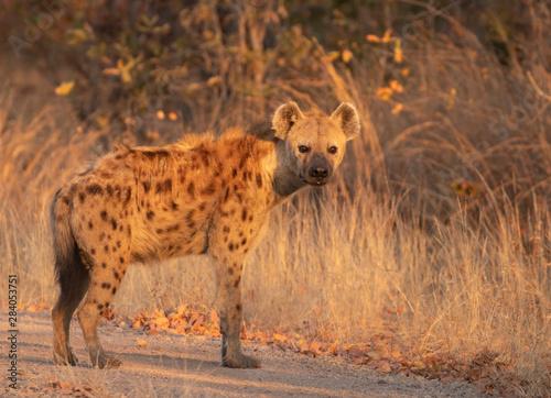 Obraz na plátne hyena