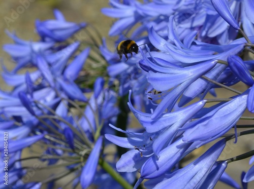 Photo  Bumble-bee and agapanthus (Bourdon et agapanthe)