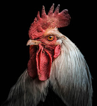 Rooster Portrait Showing Head ...