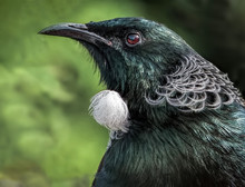 A Tui Bird Closeup Showing Its...