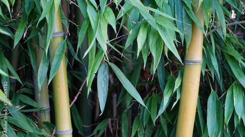 Fotografie, Obraz  Evergreen Bambusa plants  with golden bamboo stem and green leaves close up