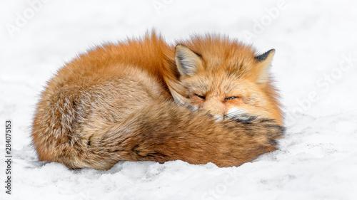 Obraz Japanese red fox sleeping in the snow - fototapety do salonu