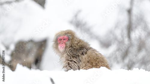 Foto op Aluminium Aap Japanese snow monkey walking on snow