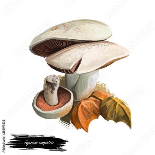 Agaricus campestris widely eaten gilled button mushroom Agaricus bisporus Canvas Print