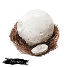 Calvatia Gigantea, Giant Puffball Mushroom Type Digital Art Illustration. Plant  Growing In Deciduous Forests And Woods, Nature Vegetable In Shape Of Circle Sphere. Closeup Of Clipart, Veggie