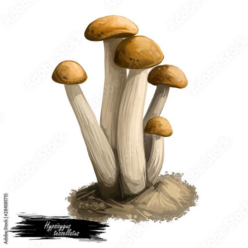 Hypsizygus tessellatus Buna shimeji, Brown Beech Mushroom, BeechBrown Clamshell Mushroom isolated on white Tapéta, Fotótapéta