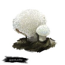 Lycoperdon Perlatum Mushroom Digital Art Illustration. Gem-studded Puffball Ecological Ingredient, Biodiversity Watercolor Print, Realistic Drawing With Inscription. White Fungus Fungi Design