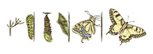 Metamorphosis Of The Swallowtail - Papilio Machaon - Butterfly