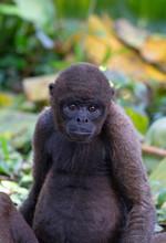Red Howler Monkey Taken In The Rainforest, Ecuador