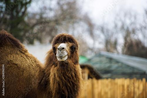 Obraz na plátne  camel