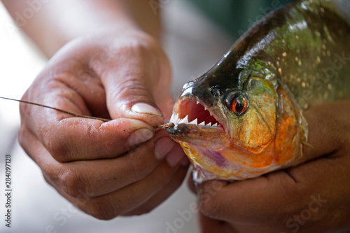 Obraz na plátne Hands holding a big piranha taken on Napa river, Ecuador
