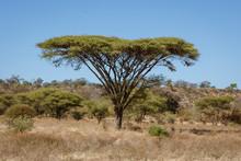 Umbrella Acacia Trees Tend To ...