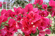 Leinwandbild Motiv Beautiful bright bougainvillea flowers