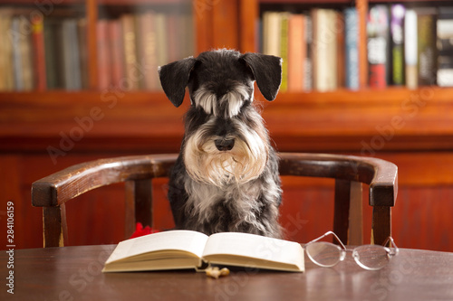 Miniature schnauzer dog reads a book in the classroom - 284106159