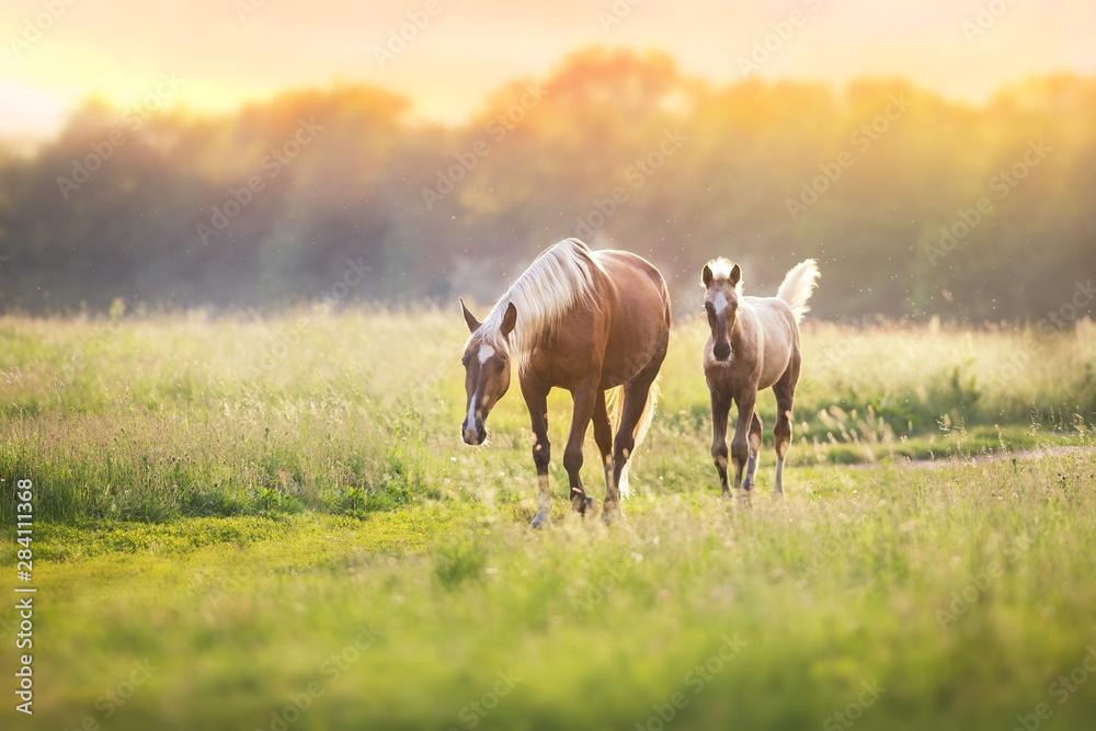 Fototapety, obrazy: Palomino horses on spring pasture