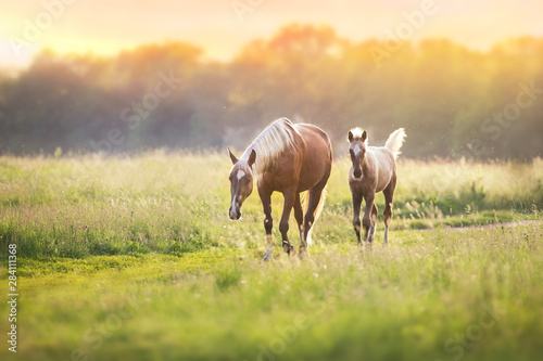Foto op Canvas Paarden Palomino horses on spring pasture
