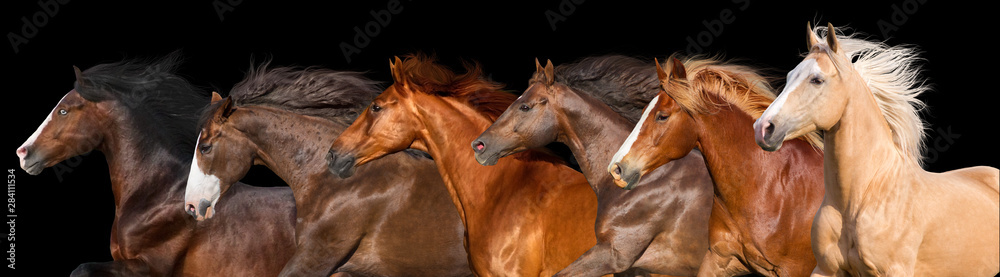 Fototapety, obrazy: Horse herd run isolated on black background