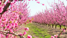Blooming Peach Trees In Spring
