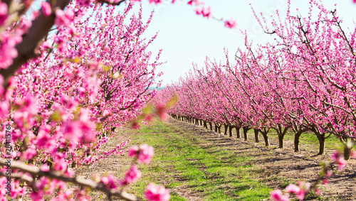 Foto auf Leinwand Rosa Lovey blooming peach trees in spring