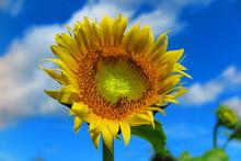 夏の日の向日葵の風景4