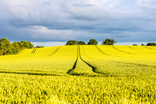 Hot Yellow Rapeseed Field On S...