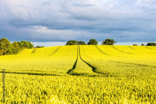 Foto auf AluDibond Gelb hot yellow rapeseed field on sunset in england uk