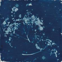 Cyanotype Seedheads
