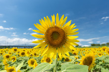 Sunflower Background. Close Up Sunflower And Blue Sky. Japan