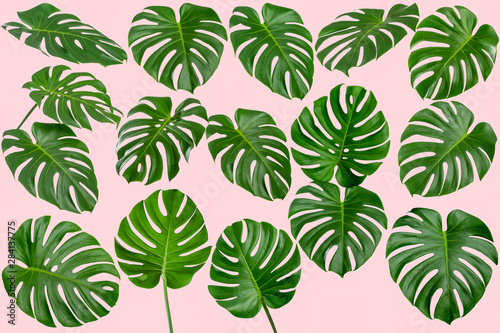 Fototapety, obrazy: Collection of green fresh Monstera leaf isolated on pink background, Monstera leaves, shaped like a heart, is a tropical tree that can be grown indoors, Summer and spring concept, High quality image.
