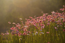 Australian Everlasting Daisy Flower Meadow In Soft Golden Afternoon Light. Also Known As Strawflowers And Paper Daisies.