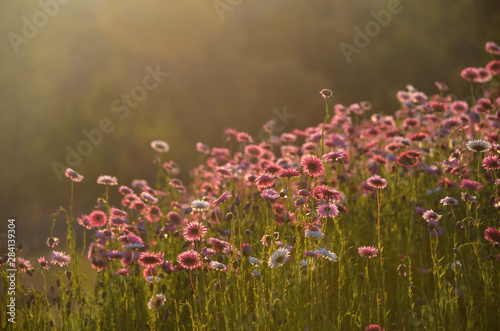 Fototapeta Australian Everlasting Daisy flower meadow in soft golden afternoon light. Also known as strawflowers and paper daisies. obraz