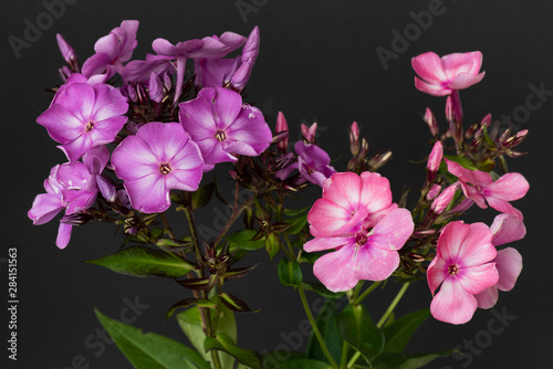 Fotografie, Obraz  Color floral macro of  two isolated clusters of violet and pink phlox blossoms,