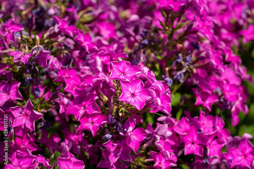 Fotografie, Obraz  Color outdoor floral macro of a cluster / bunch of pink phlox blossom with natur