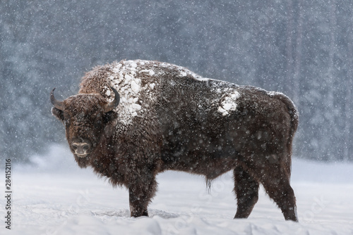 Aurochs Or Bison Bonasus Canvas-taulu