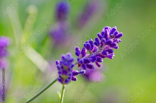 Kwiat lawendy, zbiliżenie makro.  - 284155580