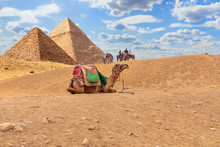 Camels By The Pyramids, Desert Scenery In Giza, Egypt