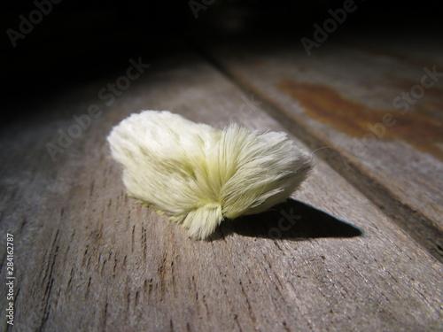 Photo Megalopyge opercularis (Donald Trump Caterpillar)
