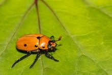 Grapevine Beetle (Pelidnota Pu...