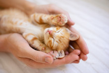 Kitten Sleeping In Man Hands. ...