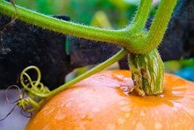 Fragment Of Orange Pumpkin With Stem After Rain In Autumn In Ukraine. Close Up.