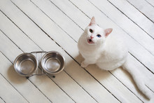 Hungry White Cat Waiting And Asking For Food