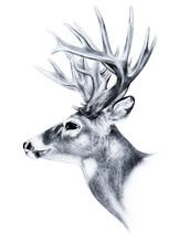 Big Buck, Huge White Tail Deer...