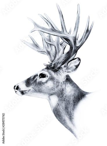 Fotomural big buck, huge white tail deer, big male buck trophy antlers, buck illustration