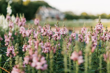 Wild Pink Flowers In Field