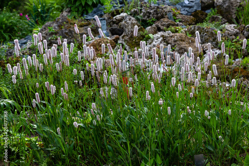 Polygonum bistorta 'Superba, Snakeroot, Snake-Root, Snakeweed in spring garden Obraz na płótnie